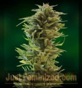 Barneys Farm amnesia lemon feminized Seeds Attitude UK